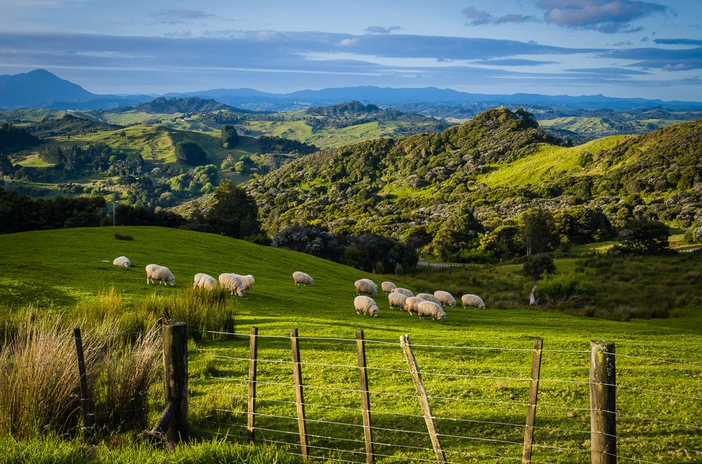 New Zealand North Island Road Trip: Sheep eating grass on the mountains