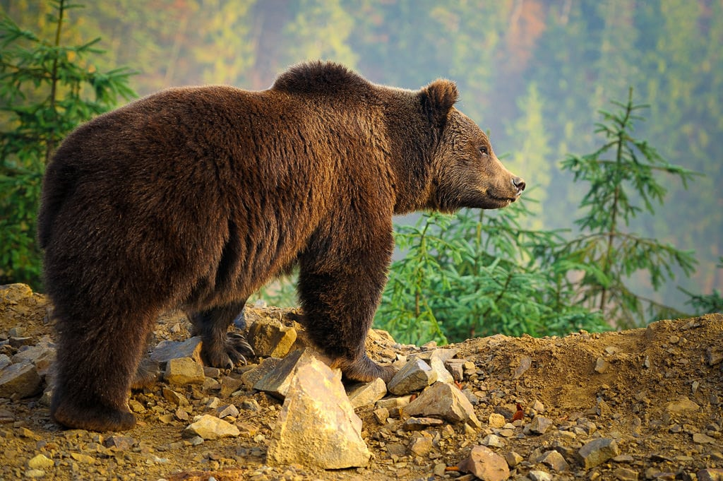 Mammal Photography - Brown Bear in Mountains