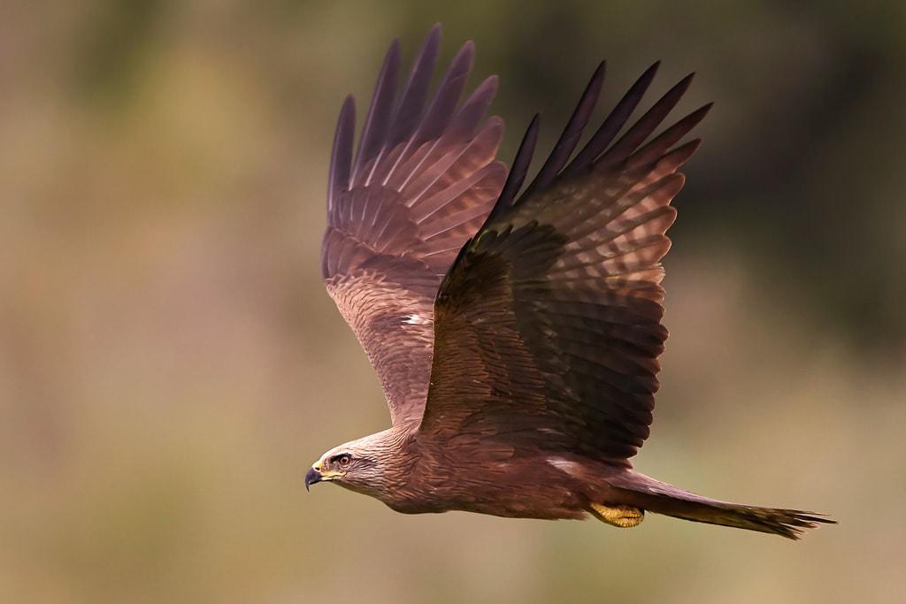 Wildlife Photography - bird in flight