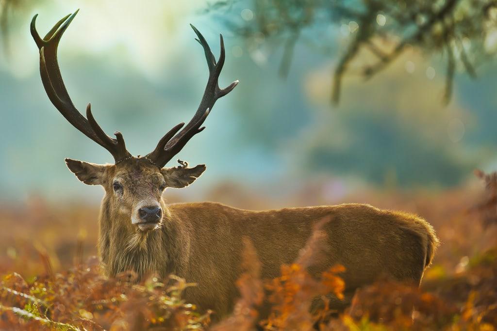Getting Close to Wildlife - Lone Male Deer